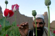 Opiumfrompoppies is made into heroin that makes its way to many Western countries. Photo Credit: Gallo Getty.